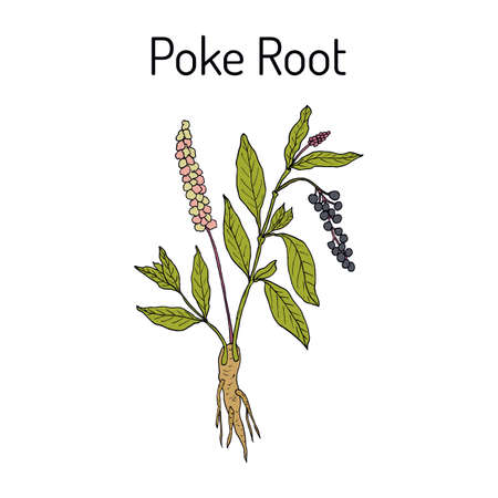 Poke root Phytolacca americana, or pokeweed, medicinal plant Vector illustration.
