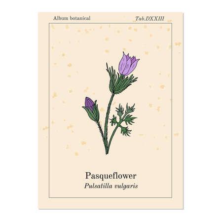 Pasqueflower medicinal plant image