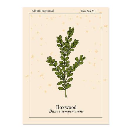 Boxwood Buxus sempervirens , or European box, medicinal plant