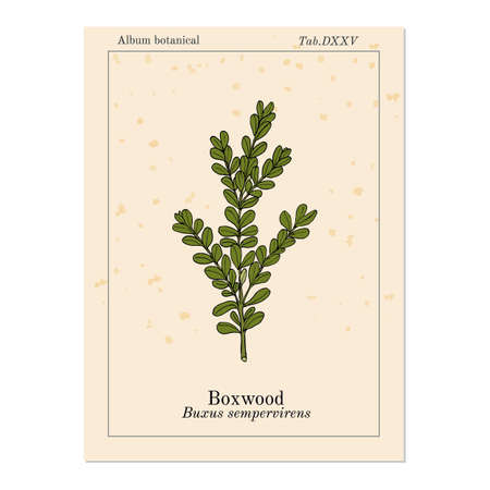 Boxwood Buxus sempervirens , or European box, medicinal plant