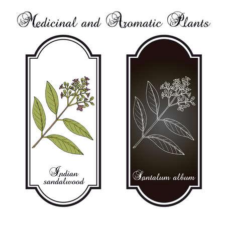 Indian sandalwood Santalum album , medicinal plant
