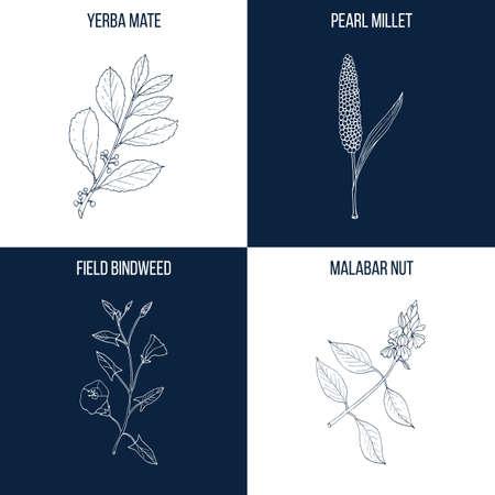 Satz von vier Hand gezeichnete essbare und medizinische Pflanzen Vektorgrafik