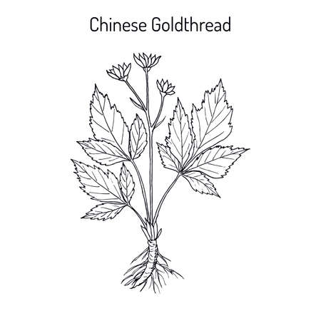 Chinese goldthread Coptis chinensis , medicinal plant