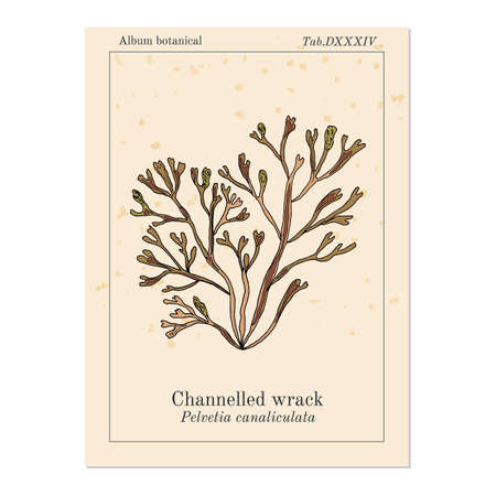 Channelled wrack pelvetia canaliculata , seaweed Illustration