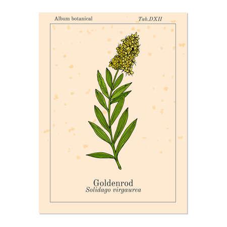 Goldenrod Solidago virgaurea , or Woundwort, medicinal plant