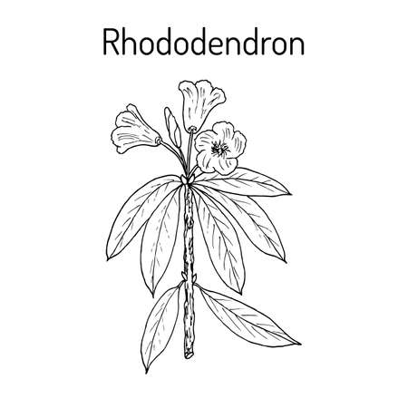 Rhododendron qinghaiense, medicinal plant.
