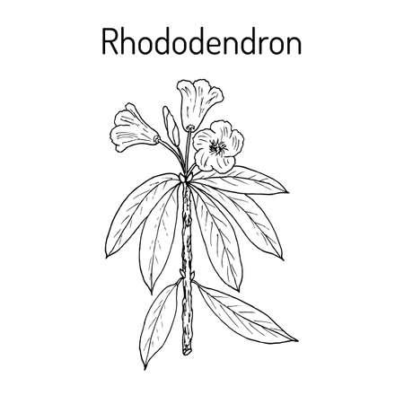 Rhododendron qinghaiense, medicinale plant.