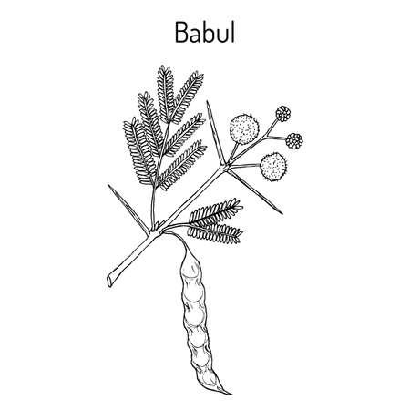 Babul Vachellia nilotica , or thorny acacia, medicinal plant Illustration
