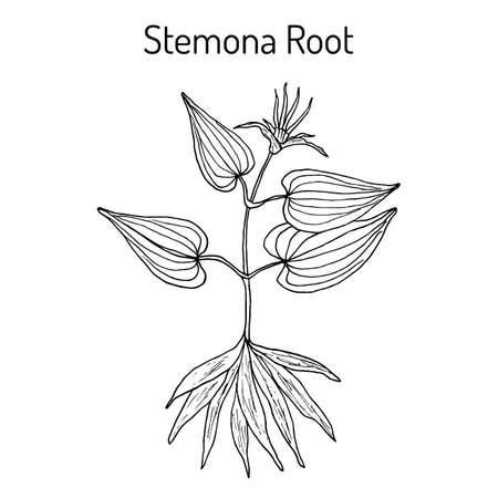 Stemona tuberosa, medicinal plant in hand drawn illustration.