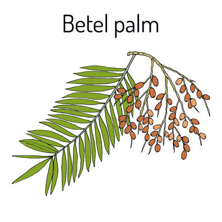 Betel palm Areca catechu , or Indian nut, medicinal plant