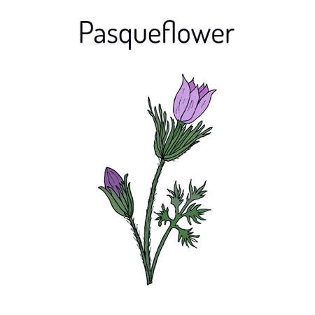 Pasqueflower pulsatilla vulgaris , medicinal plant illustration.