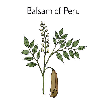 Balsam of Peru Myroxylon balsamum, medicinal plant.