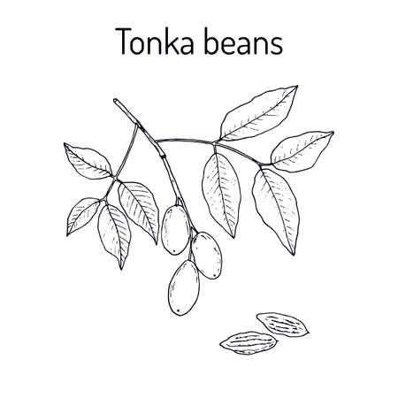 Tonka beans aromatic and medicinal plant vector illustration 向量圖像