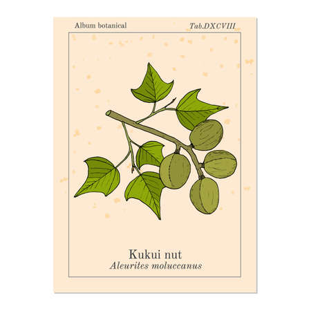 Kukui nut Aleurites moluccanus , or candlenut, indian walnut, medicinal plant.