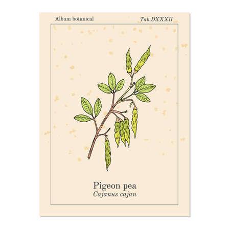 Pigeon pea Cajanus cajan - medicinal plant