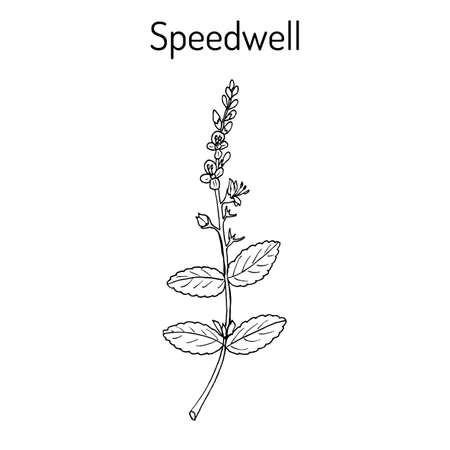 Heath speedwell Veronica officinalis vector illustration