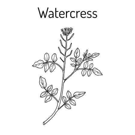 Watercress Nasturtium officinale - aquatic medicinal plant
