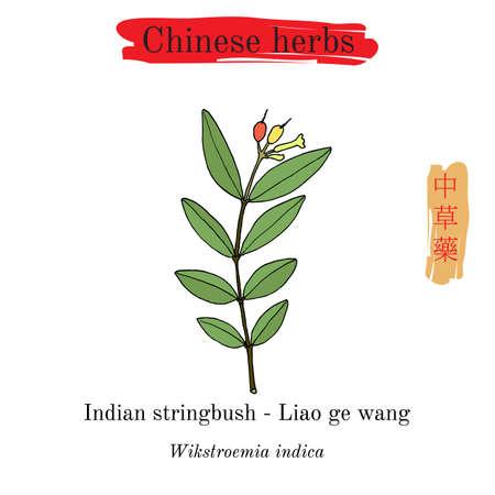 Heilkräuter aus China. Indischer Stringbush Wikstroemia indica. Hieroglyphenübersetzung Chinesische Kräutermedizin Standard-Bild - 97477095