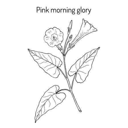 Morning glory Ipomoea carnea , medicinal plant, Hand drawn botanical vector illustration Иллюстрация