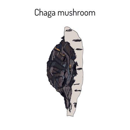 Chaga Inonotus obliquus, medicinal mushroom illustration.  イラスト・ベクター素材