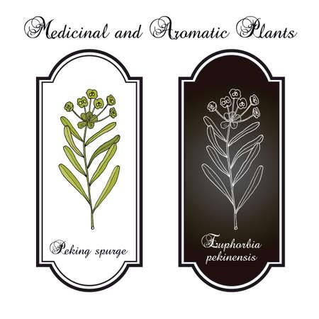 Peking spurge Euphorbia pekinensis , medicinal plant Reklamní fotografie - 97990867