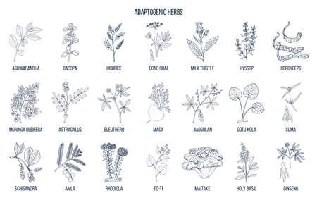 Herbes adaptogènes. Vecteur dessiné à la main
