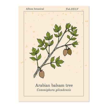 Arabian balsam tree Commiphora gileadensis , or balm of Gilead