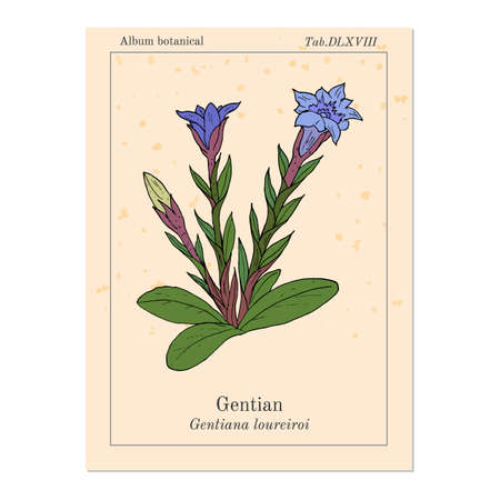 Gentian Gentiana loureiroi , medicinal plant