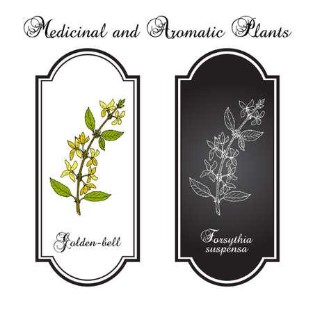 Golden bell Forsythia suspensa , medicinal plant. Hand drawn botanical vector illustration Çizim