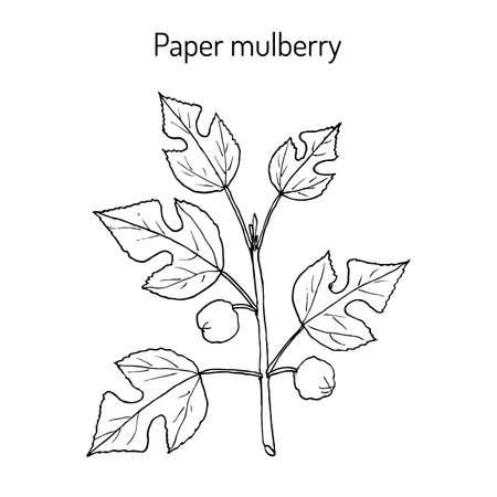 Paper Mulberry Broussonetia papyrifera , medicinal plant