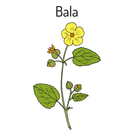 Bala sida cordifolia illustration