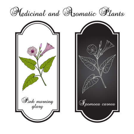 Pink morning glory Ipomoea carnea  medicinal plant Vector illustration.