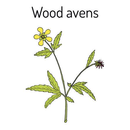 Wood avens Geum urbanum , medicinal plant Ilustração