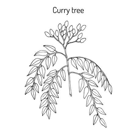 Curry tree Murraya koenigii , medicinal plant