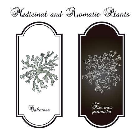 Oakmoss Evernia prunastri , medicinal plant. Hand drawn botanical vector illustration