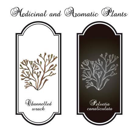 Channelled wrack pelvetia canaliculata , seaweed, brown alga, medicinal plant. Hand drawn botanical vector illustration Illustration