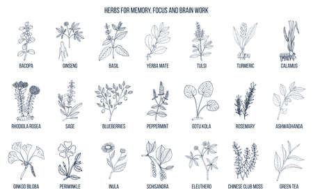 Best medicinal herbs for memory, focus and brain work. Hand drawn vector set of medicinal plants Vectores