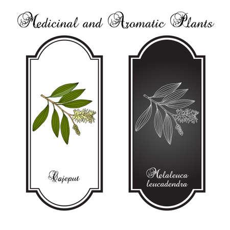 Cajeput Melaleuca leucadendron , or weeping paperbark, medicinal plant. Hand drawn botanical vector illustration Ilustração