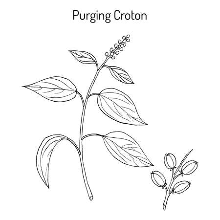 Purging Croton, medicinal plant. Hand drawn botanical vector illustration