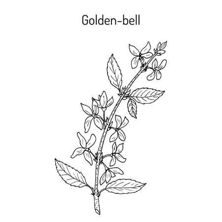 Golden bell Forsythia suspensa medicinal plant. Hand drawn botanical vector illustration