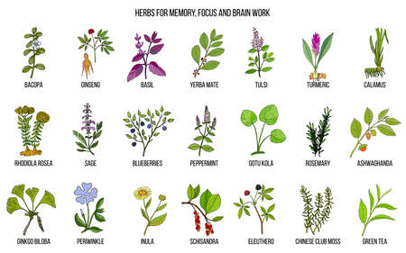 Best medicinal herbs for memory, focus and brain work. Hand drawn vector set of medicinal plants Vettoriali