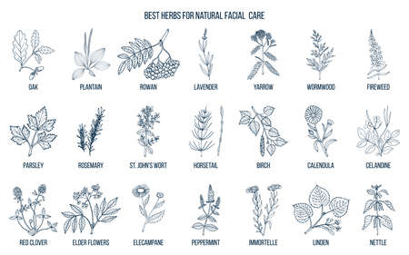 Best medicinal herbs for natural facial care. Hand drawn vector set of medicinal plants