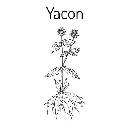 Yacon Smallanthus sonchifolius  or peruvian ground apple, medicinal plant