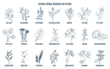 Best medicinal herbs for chronic fatigue. Hand drawn vector set of medicinal plants