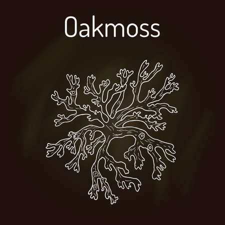 Oakmoss Evernia prunastri , medicinal plant. Hand drawn botanical vector illustration