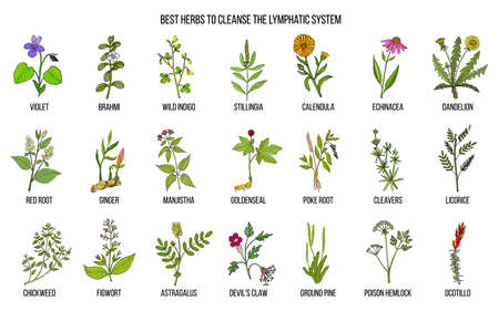 Best medicinal herbs to cleance the lymphatic system Stock Photo