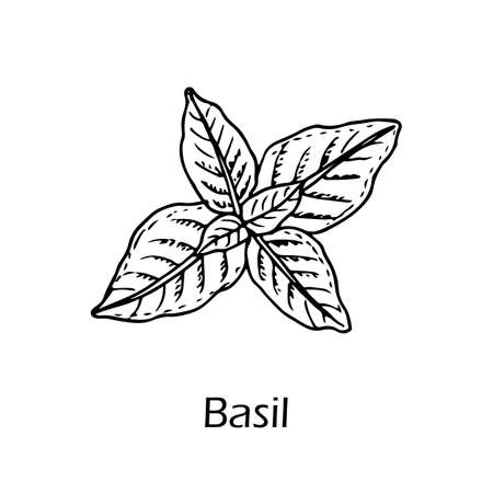 Basil, or sweet basil, culinary and aromatic herb