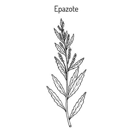 Epazote Dysphania ambrosioides , or wormseed, mexican tea, culinary and medicinal plant. Hand drawn vector botanical illustration Ilustração