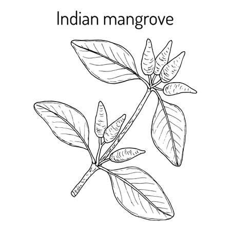 Indian mangrove Avicennia officinalis , medicinal plant
