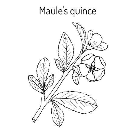 Maule quince Chaenomeles japonica , medicinal plant. Hand drawn botanical vector illustration